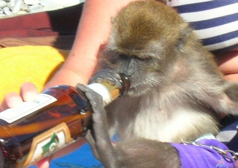 Małpa popija piwko