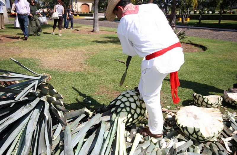 Pracownik demonstruje obróbkę Agawy