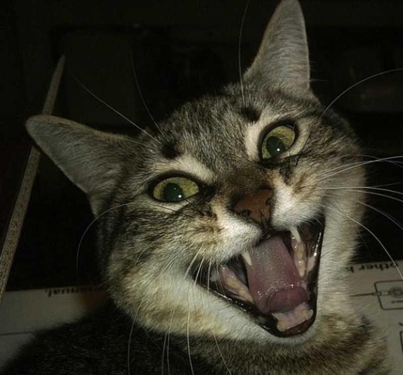 Kot pokazuje swoje zęby