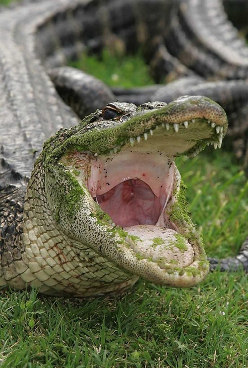 Krokodyl z otwartą paszczą
