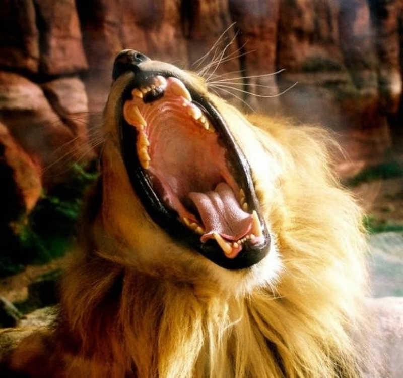 Otwarta paszcza lwa