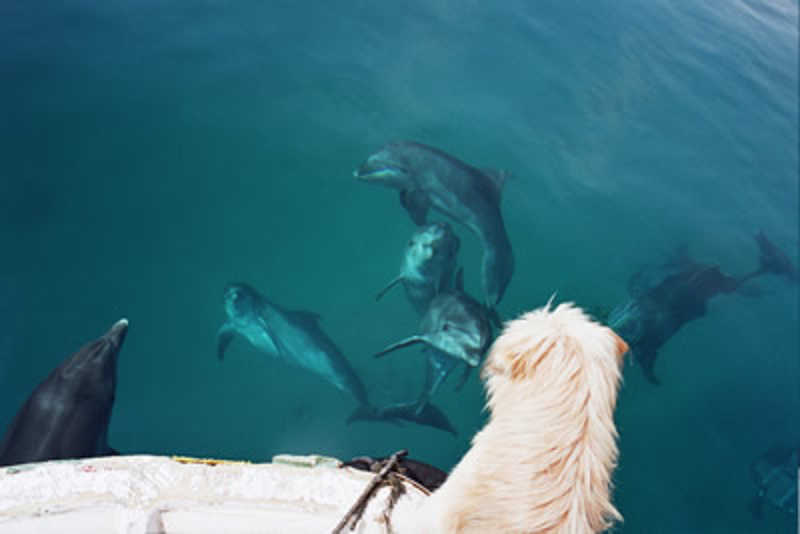 Pies przygląda się z molo delfinom pływającym w wodzie