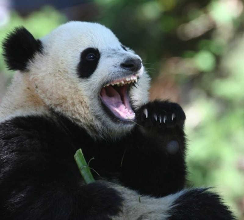 Niedźwiedź Panda z otwartym szeroko pyskiem