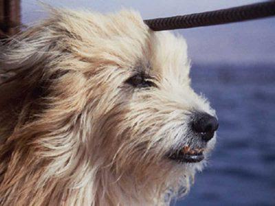 Jasny kudłaty pies