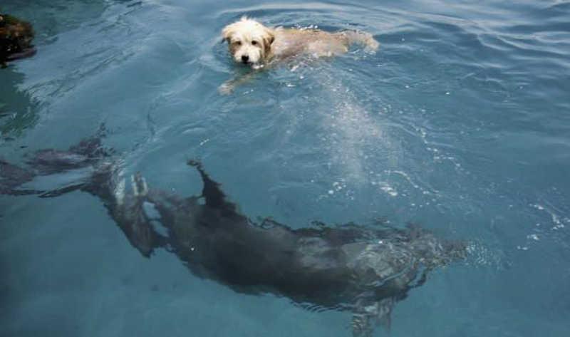 Zabawa psa z delfinami w wodzie