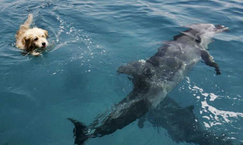 Kudłaty pies pływa obok dwóch delfinów.