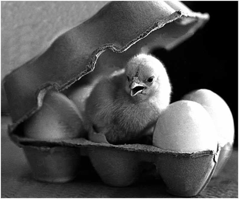 Pisklę między jajami