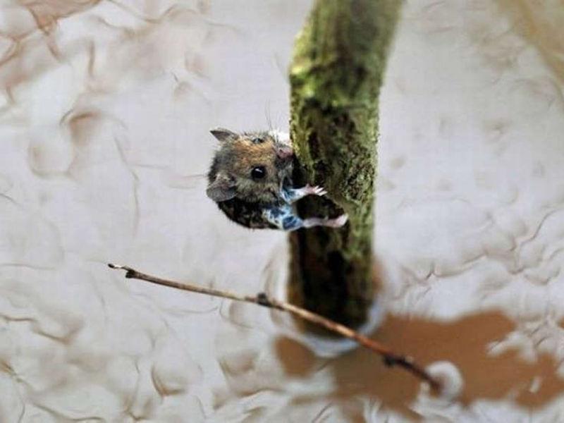 Mała mysz na gałęzi w rzece