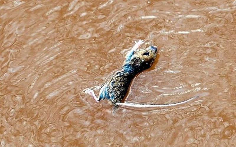 Tonąca mysz w rzece